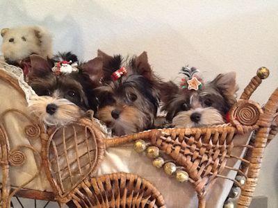 Yorkie Puppies, parti yorkies