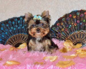 yorkshire terrier colors blue gold blue gold angelica treasure trove yorkiestreasure 6265